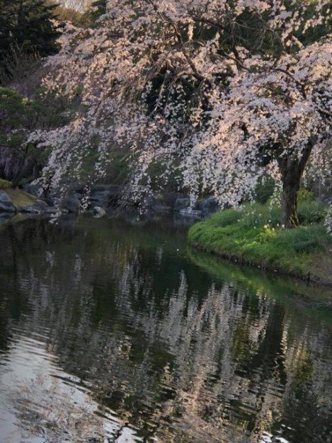 楓女性調査事務所 探偵 白鳥庭園 桜